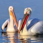 Пеликани-разузнавачи населиха Сребърна