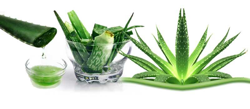 Алое вера - уникално растение, с широки терапевтични свойства.