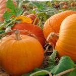 Тиквата – един  уникален есенен плод