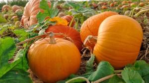 Широко известни са диуретичните и разхлабващи свойства на този плод.