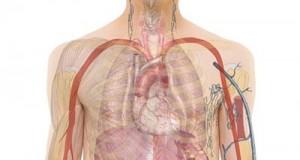 Новооткрит орган измества по размери кожата от първото място