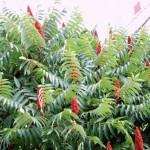 Стагхорн Сумак – отрова или терапевтично растение
