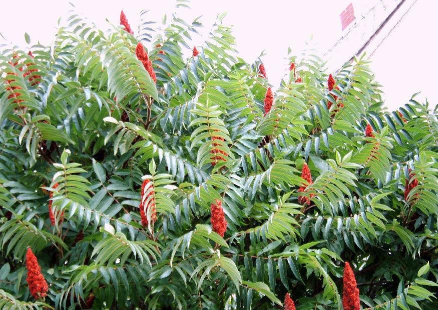 Photo of Стагхорн Сумак – отрова или терапевтично растение