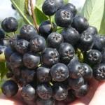 Аронията – храна за здраве и дълголетие